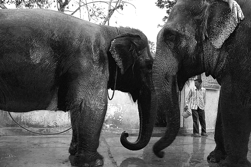 Elephant-Bathing-Kholapur